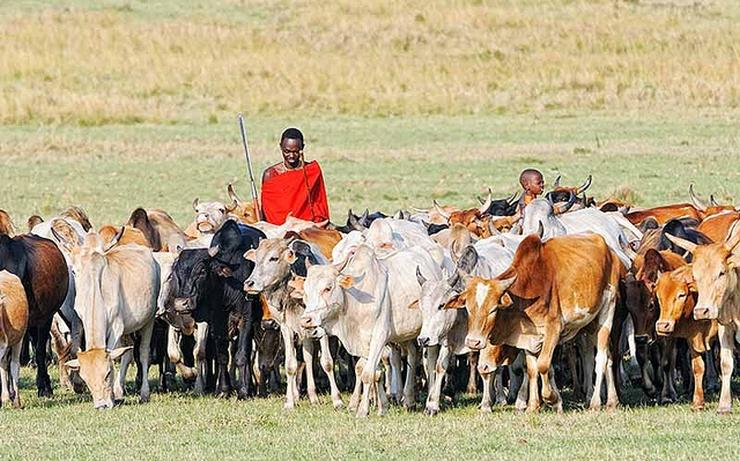 Maasai Cattle